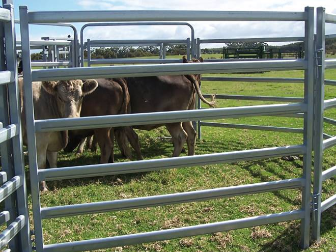 Three cows are in a cattle panel.