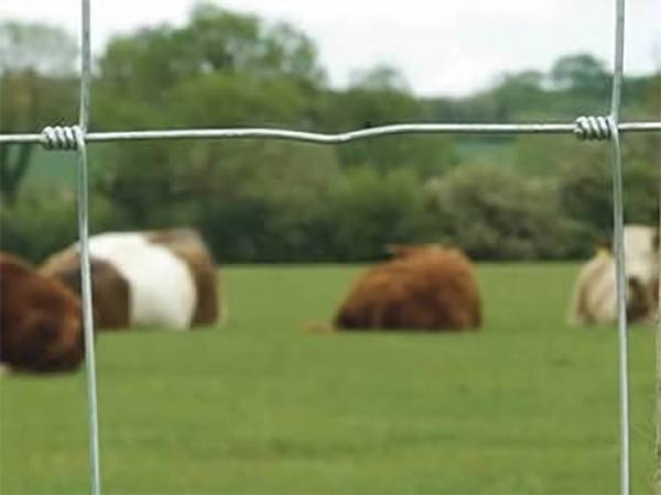 There are four head of cows in the hinge joint fence.