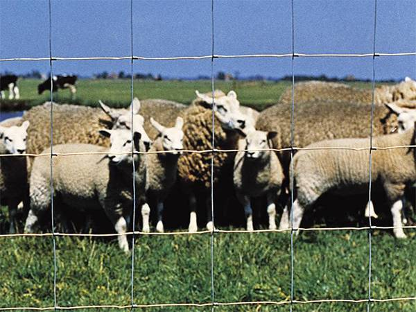 A flock of sheep in the hinge joint fence.
