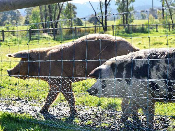 Two head of pigs are walking in the field with hinge joint fence and added bottom chicken wire.