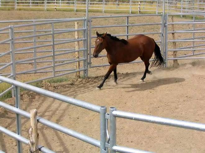A brown horse is running in a roomy horse panel.