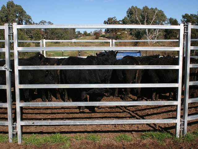 Many cattle are in square rail panels.